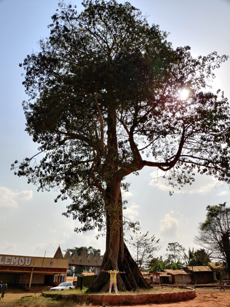 Baobab in der Chefferie Bafou, West Region, Kamerun